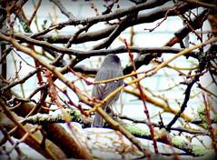 Birds at Rainy Day. Gray Catbird