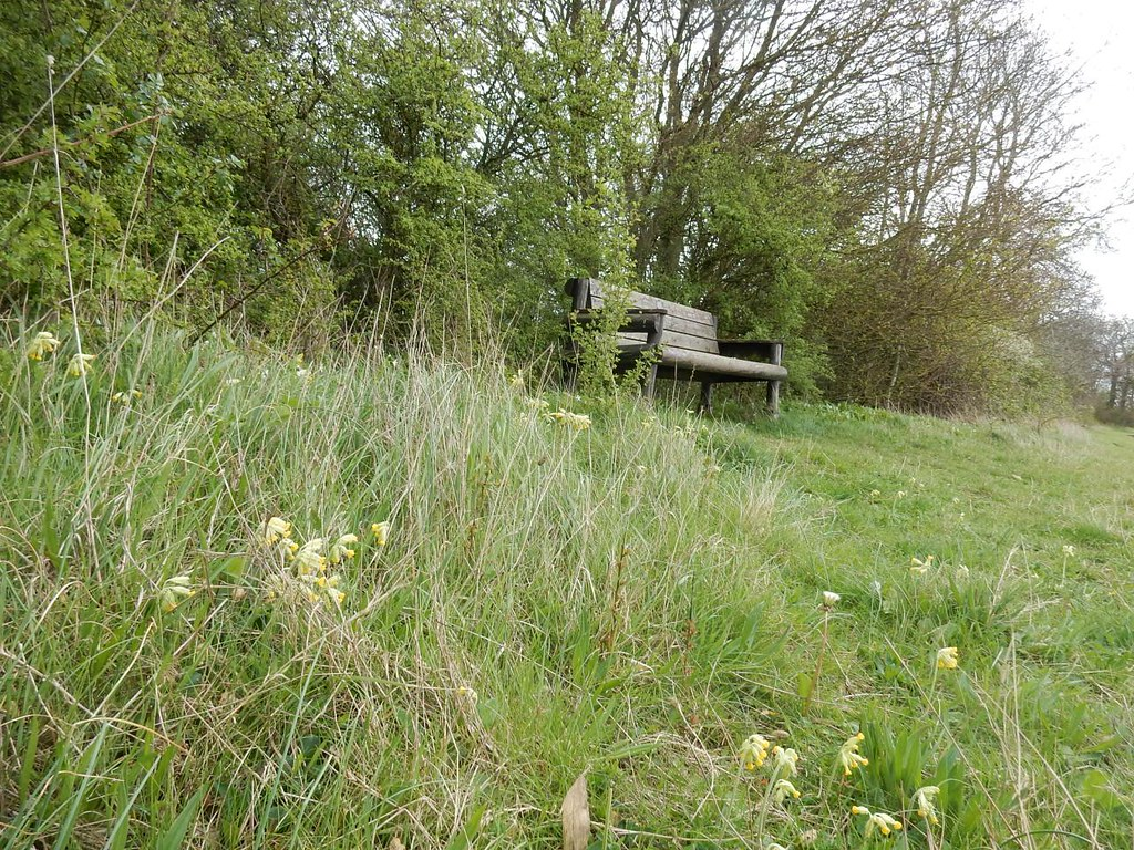 Seat with cowslips Great Chesterford to Newport