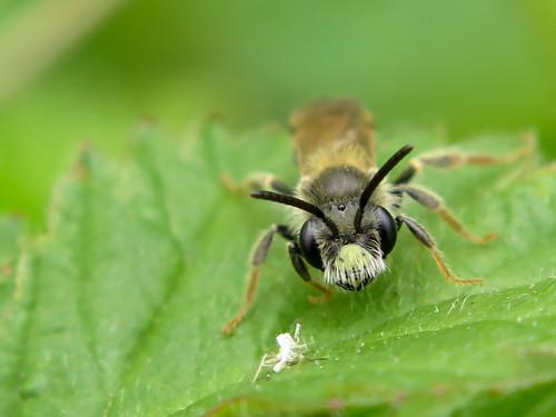 Male Hawthorn Mining Bee - Andrena chrysosceles