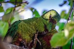 Cachaña / Austral Parakeet