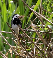 HolderPied Wagtail nest building