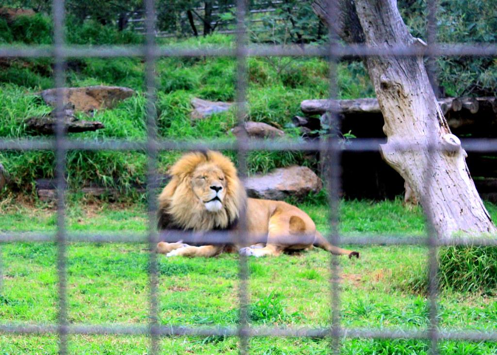 melbourne-zoo-lion