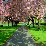 Cherry Blossom in Preston