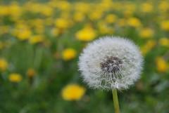 asterales, prairie, dandelion, flower, field, plant, macro photography, wildflower, meadow,