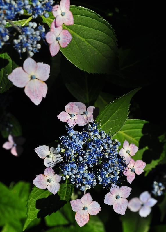 Hydrangea macrophylla 'Bluebird'