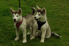 czechoslovakian wolfdog(0.0), canaan dog(0.0), shikoku(0.0), white shepherd(0.0), berger blanc suisse(0.0), kishu(0.0), wolfdog(0.0), saarloos wolfdog(0.0), jã¤mthund(0.0), dog breed(1.0), animal(1.0), west siberian laika(1.0), dog(1.0), miniature siberian husky(1.0), alaskan klee kai(1.0), siberian husky(1.0), pet(1.0), east siberian laika(1.0), tamaskan dog(1.0), greenland dog(1.0), northern inuit dog(1.0), korean jindo dog(1.0), native american indian dog(1.0), sled dog(1.0), carnivoran(1.0),