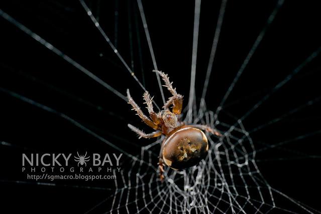 Orb Web Spider (Araneidae) - DSC_7093