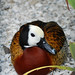 White Faced Whistling Duck by Hillary Wolfe