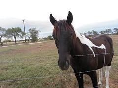Texas Pony