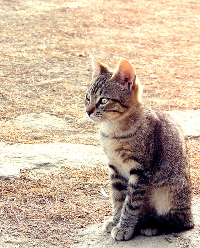 sunset sun rayas cat ojos gato campo felino
