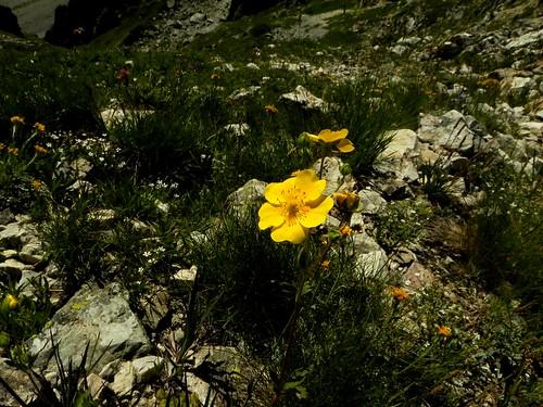 Potentilla grandiflora=Potentilleà grandes fleurs (1)