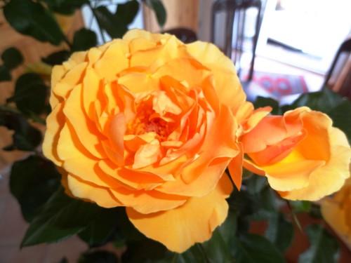 Duftrose Amber Queen