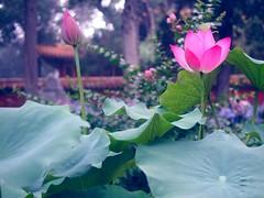 Lotus, The Forbidden City Imperial Garden