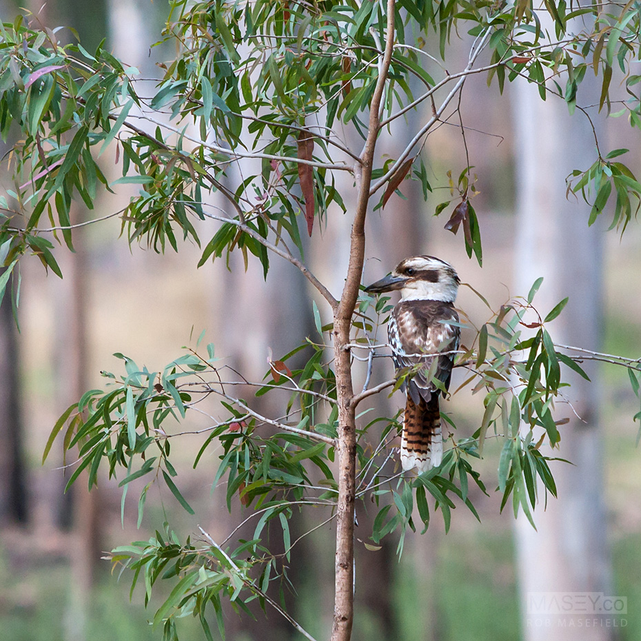 And this handsome kookaburra kept an eye on us too...