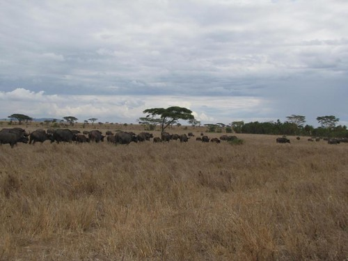 Huge Herd of Cape Buffalo