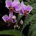 Purple Orchids 2
