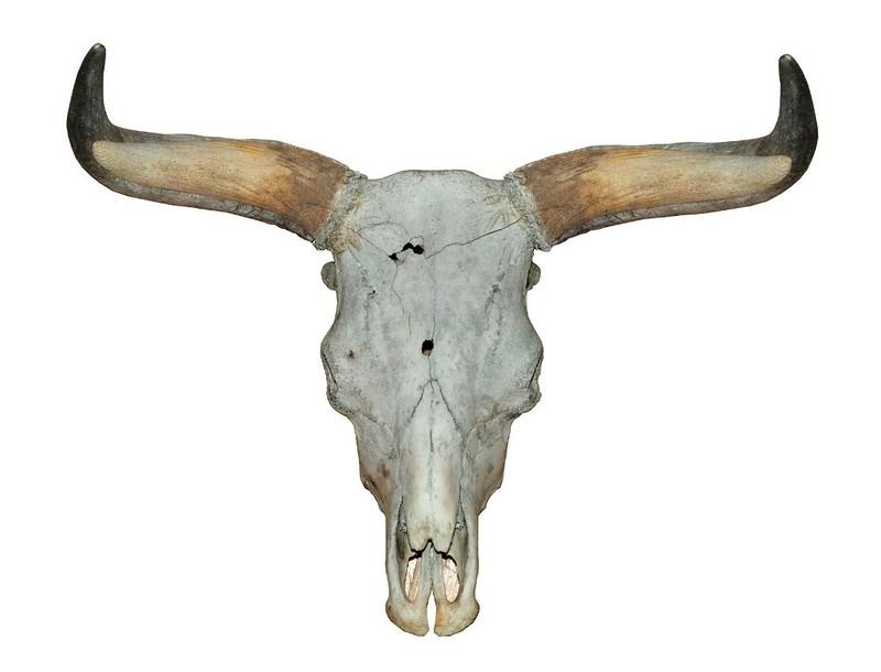 The Breeding Back Blog The Skulls Of Two Taurus Bulls