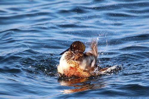 洗澡,不是人類的專利,琵嘴鴨(雄)也需要認真的洗澡,維持羽毛的潔淨。