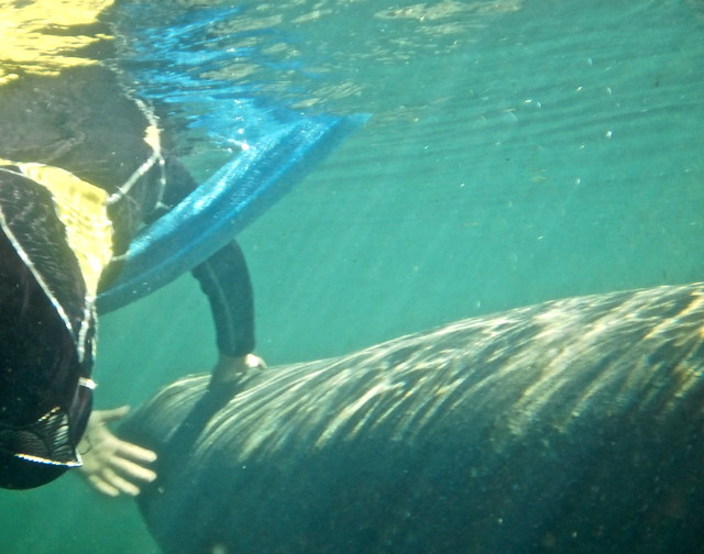 first encounter with a manatee with nature coast manatee tours