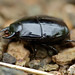 Small photo of Steel Beetle (Histeridae)