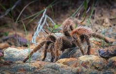 arthropod(1.0), animal(1.0), spider(1.0), nature(1.0), invertebrate(1.0), macro photography(1.0), fauna(1.0), close-up(1.0), tarantula(1.0), wolf spider(1.0), wildlife(1.0),