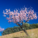 Almond Blossoms - Foz da Cova, Portugal by leroygp