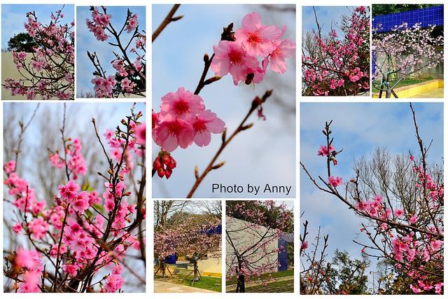 麗池櫻花15
