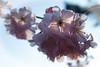 Kirschblüte 01