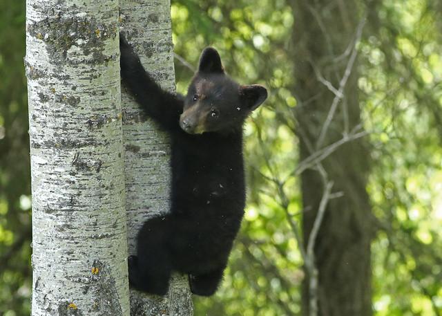 Black Bear Cub...#8 (explore on 2/26/17)
