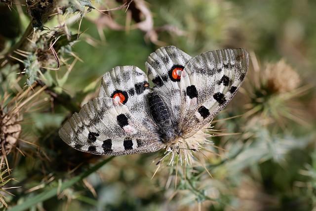 Parnassius apollo (Papilionidae: Parnassiinae: Parnassiini) on Cirsium sairamense (Asteraceae)