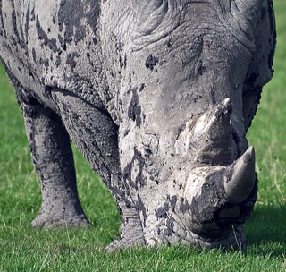 Rhinoceros Covered with Mud