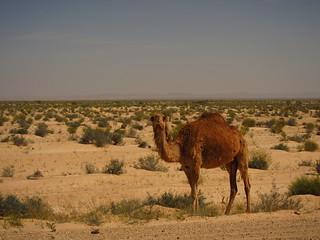 Contemplating camel