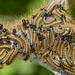 Unknown Caterpillars by Matchman Devon