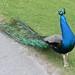 Peacock 3 by umbrellahead56