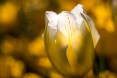 eine von 1000,  Tulpe