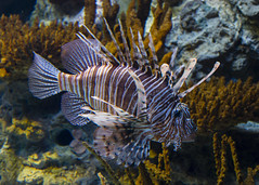 Lion Fish ( Pterois )