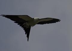 Swallow Tailed Kite 3