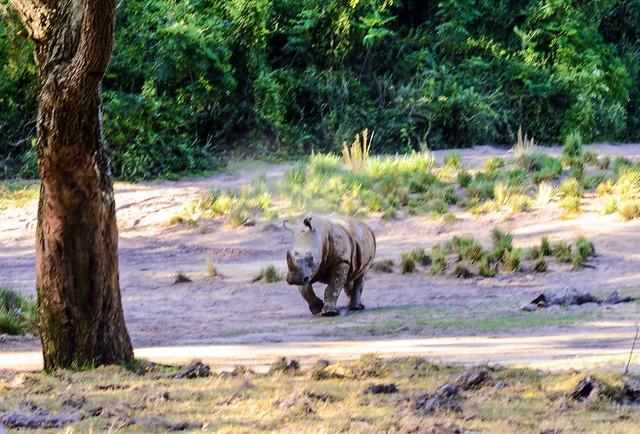 Rhino running safari AK