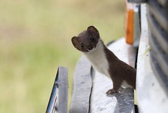 wildlife(0.0), animal(1.0), weasel(1.0), mustelidae(1.0), mammal(1.0), fauna(1.0), marten(1.0), polecat(1.0), whiskers(1.0), mink(1.0),