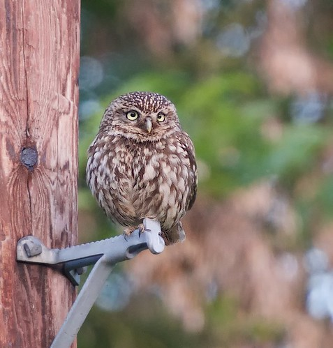 56741 Little Owl in Warwickshire