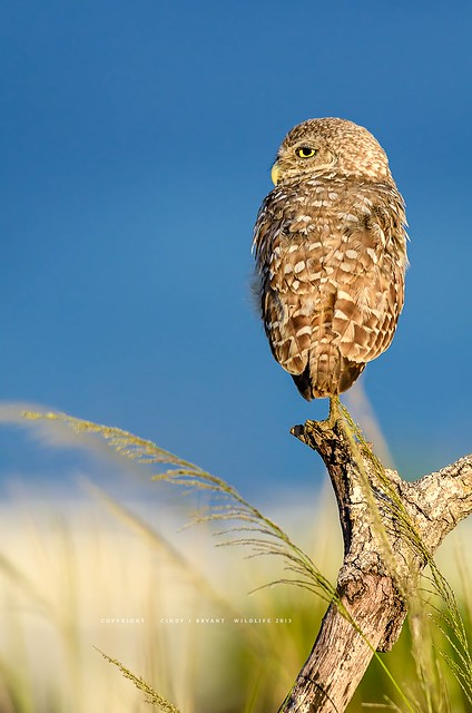 Burrowing Owl, Inspired by the Seaside