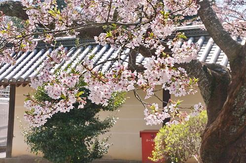 【写真】桜 : 毘沙門堂