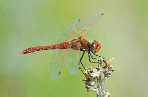 5 sympetrumcorruptum variegatedmeadowhawk dragonflygallery