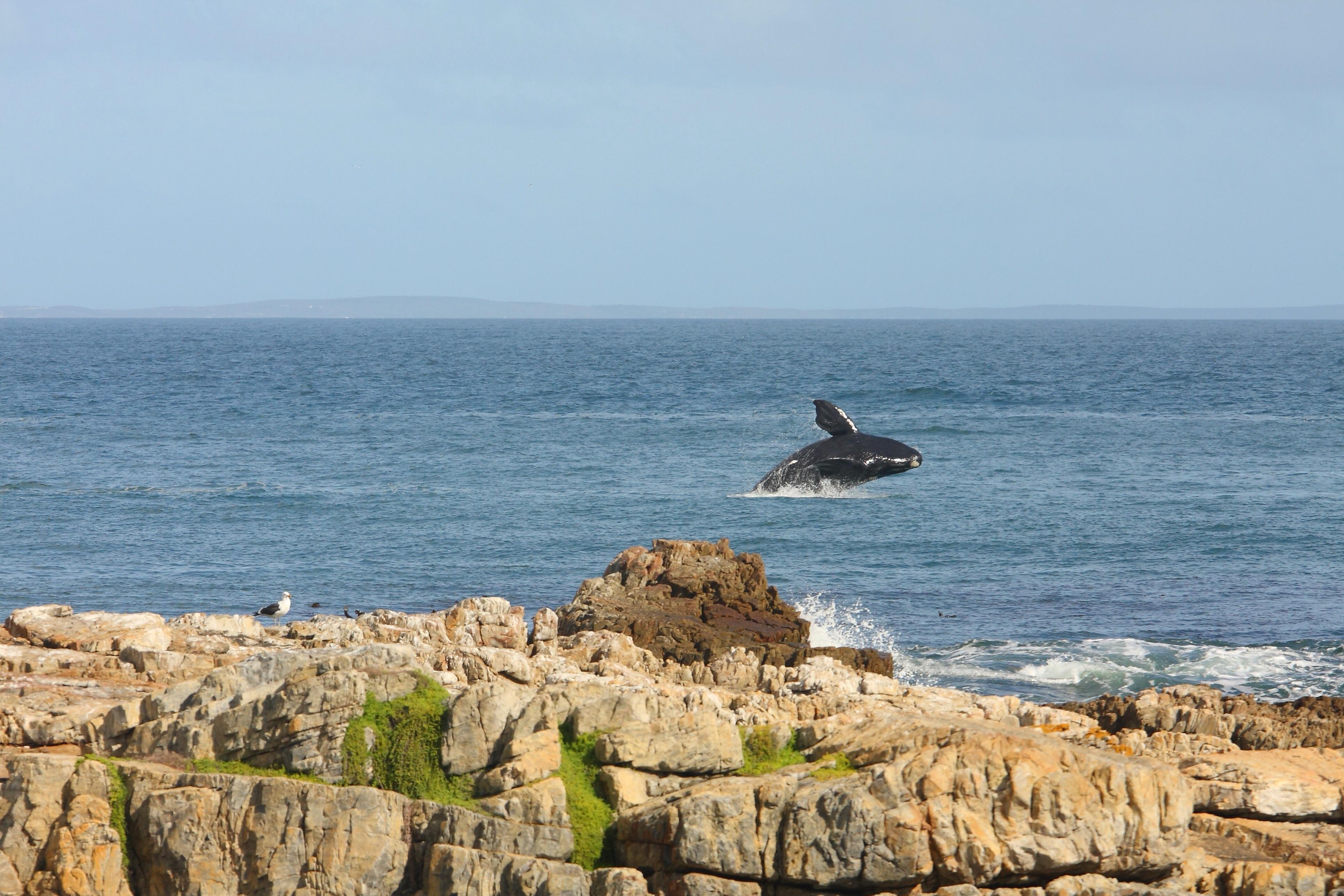 Shore-based whale watching in Hermanus