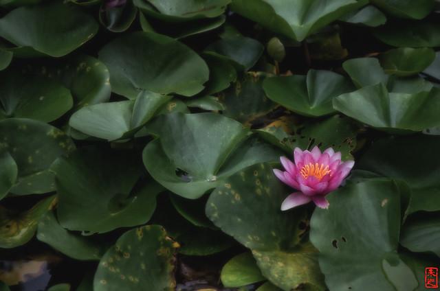 「睡蓮」 法起寺 - 奈良