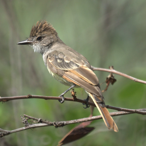 Flycatcher (Ash-throated?)