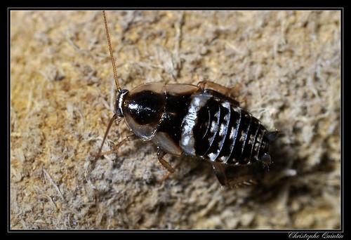 Ectobius sp. (Ectobius vinzi ?)