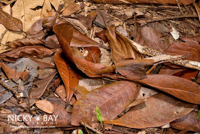 Forest Leaf Grasshopper (Systella rafflesii) - DSC_7651