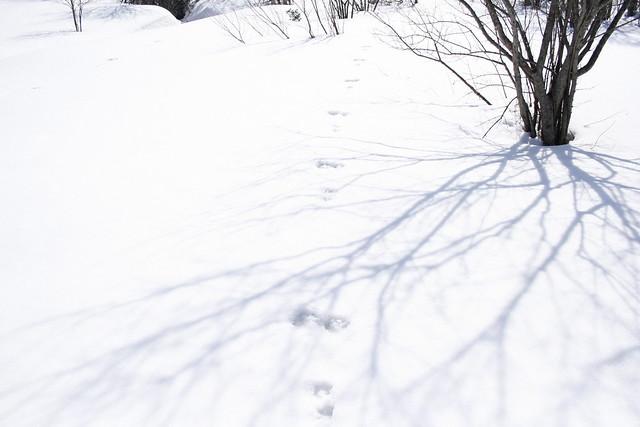 ノウサギの足跡がくっきりと残っていた.