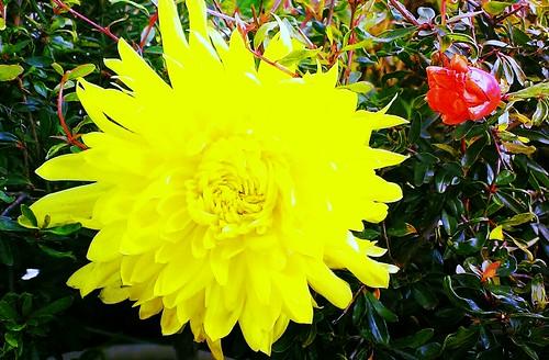 Fiore di crisantemo